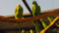 caged green parrots.jpg