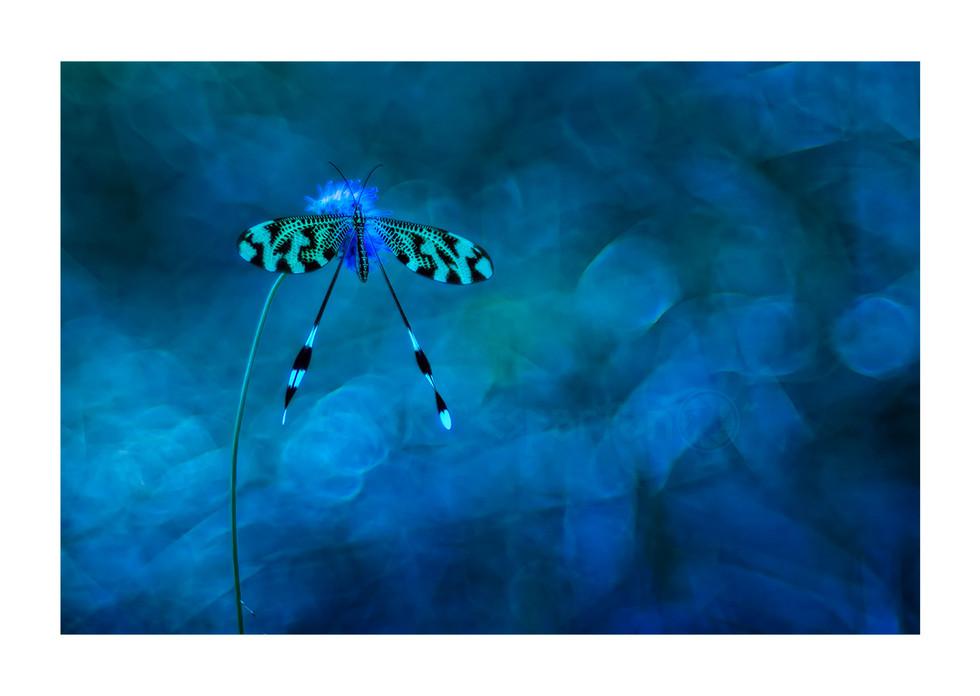 Nemoptera bipennis (2