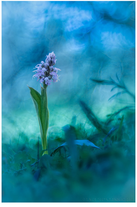 ORCHIS CONICA-2016-01.jpg