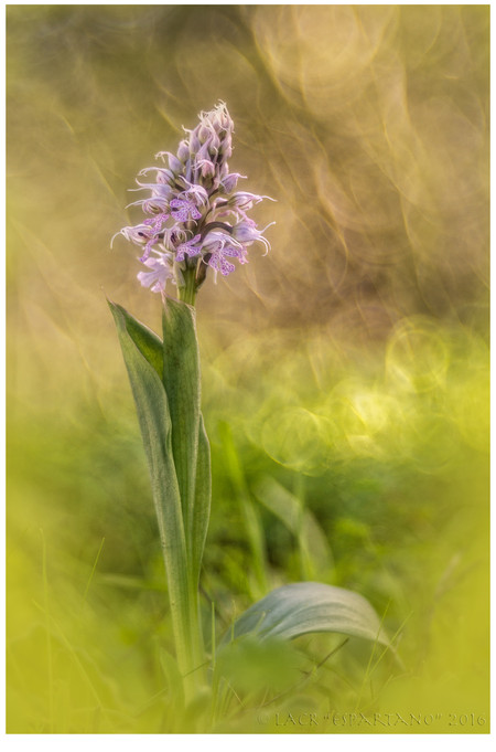 ORCHIS CONICA-2016-05.jpg
