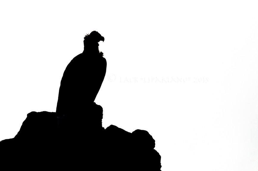 AEGIPIUS MONACHUS-2015-01.jpg