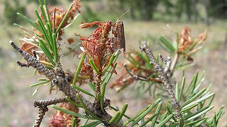 Budworm-Moth.jpg