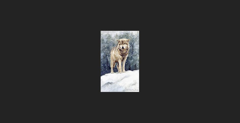 """Snow on Cedars"" - Wolf"