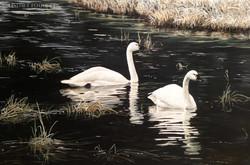 """""""Alaskan Beauties"""" - Tundra Swans"""