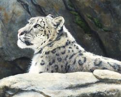 """""""Majestic Gaze"""" - Snow leopard"""