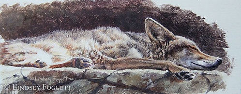 'Dreaming' - Coyote (Miniature Painting)