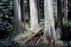 """The Giants"" - Redwoods"