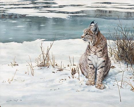 """""""Observing"""" - Bobcat"""