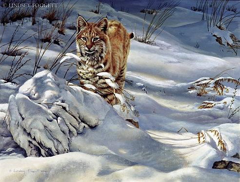 """""""Fresh Trail"""" - Bobcat"""