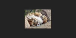 """Softer Side"" - Cougar"