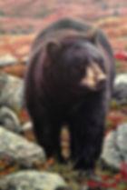 Black Bear, Grizzly Bear