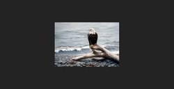 """Shore Watching"" - Bald Eagle"