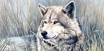 Wolf, Wolves, Canines