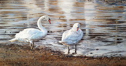"""Gathering at Dusk"" - Swans"