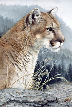 Mountain Lion, Cougar, Felines, Cats