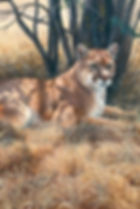 Mountain Lion, Cougar, Felines, Cats