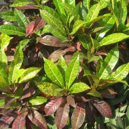 Pavana Leaf