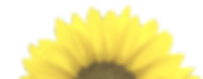 sunflower-png-11_edited_edited_edited_ed