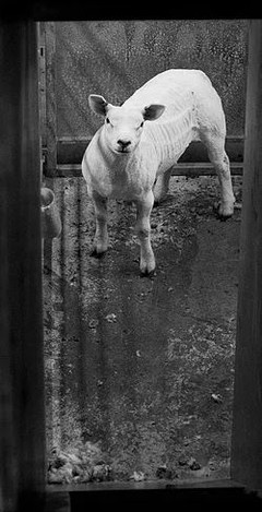 SHORT 2 SHEEPO
