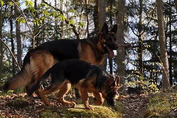 german-shepherd-945748.jpg