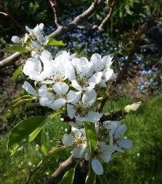 PearBlossomCrop.jpg