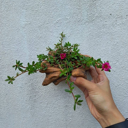 Japenese Rose