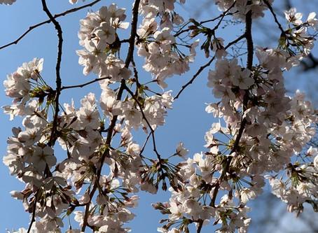桜とアンティーク花瓶、揃いました!
