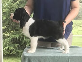 One Pup from AM CH STREAMLINE'S OUTNUMBERED ex AM CH MAXWELL'S ACROSS THE POND