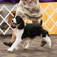 Am GCh CH / Can CH Maxwell's Build Me Up Buttercup