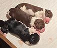 Three puppies from AM CH MINDSPRING ESCAPED FROM AZKABAN ex AM CH MAXWELL'S ACROSS THE POND