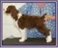 One Pup from CH WIl-ORION'S THE FUTURE IZ CLEAR ex AM CH / INT'L CH BIRCHWOOD MAXWELL'S LAST DANCE