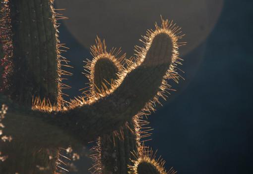 Cactus, San Francisco de Los Andes, Chile