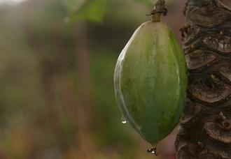 Papaya después de la lluvia en Tunquen