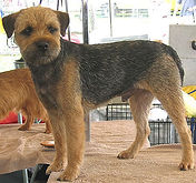 grizzle-and-tan-border-terrier.jpg