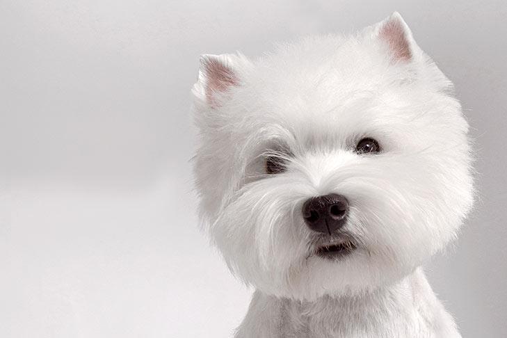 West-Highland-White-Terrier-on-White-01.