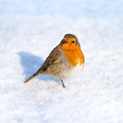 5 'Robin in the Snow' Christmas Cards