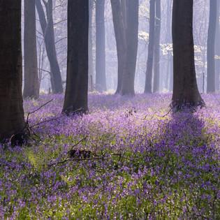 The Purple Carpet