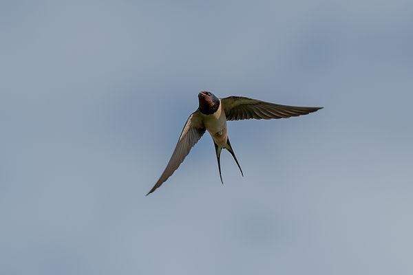Barn Swallow iinflight