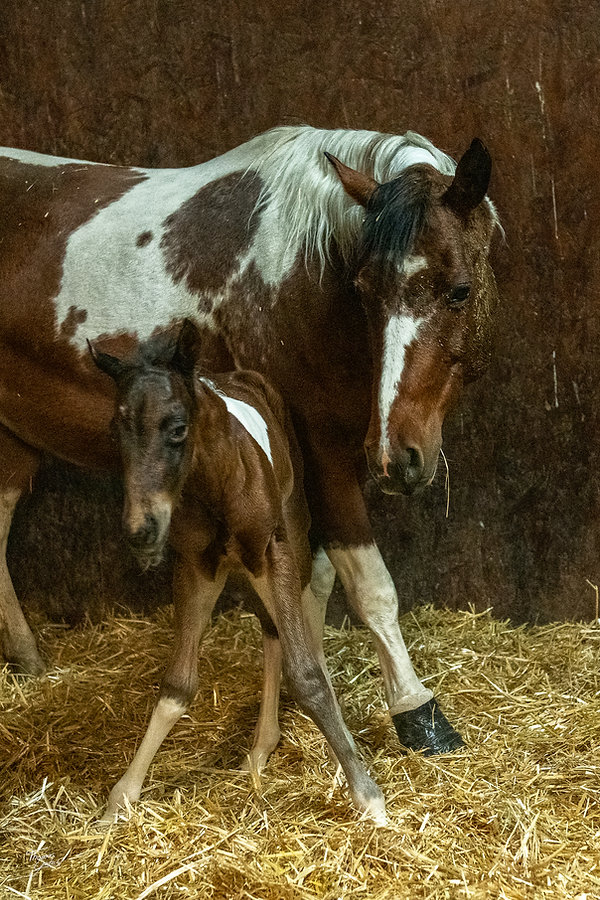 SHColonel Smart and Special paint foal, Gsmart Specialena paint mare