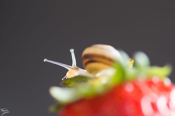 Srawberry Snail