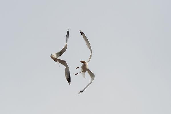 Seagulls in Airfight
