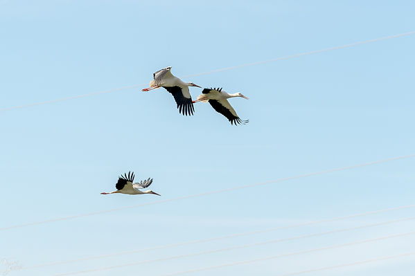 White stork in formation
