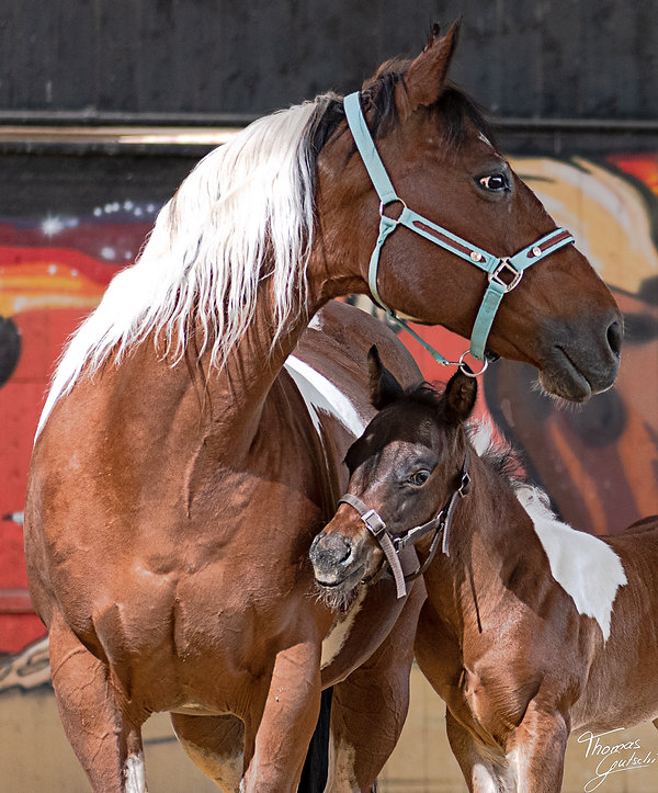 SHColonel Smart and Special paint foal, Gsmart Specialena paint mare apha paint quarter