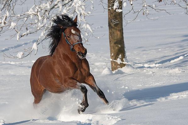 Spnish horse mago