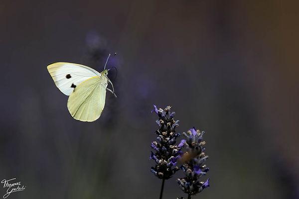 Großer Kohlweissling auf Lavendel