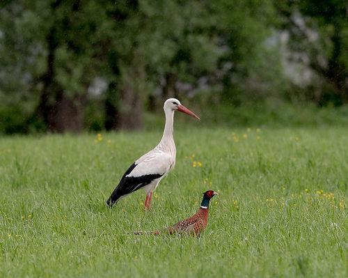 Stork and Pheasant