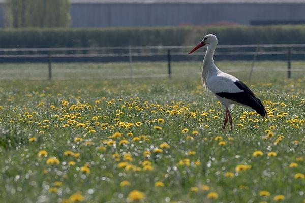 White Stork in spring