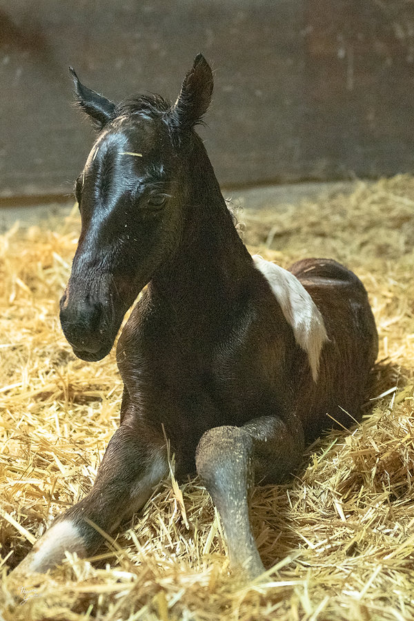 SHColonel Smart and Special paint foal