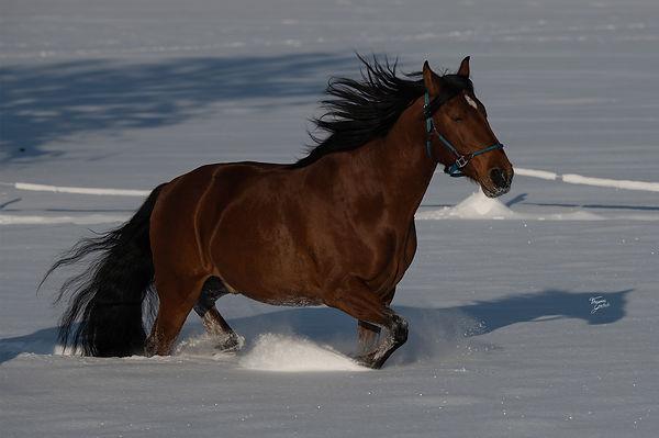 Mago spanish horse in snow