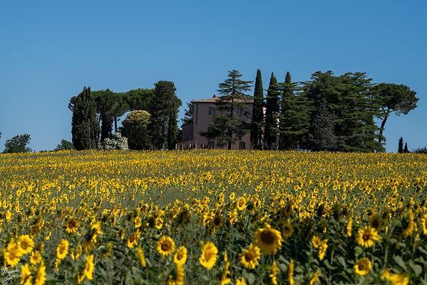 Girasoli umbrien, sonnenblumenfeld villa